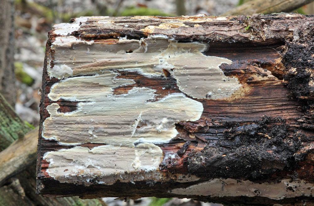 tlust�nka kafrov� - Scytinostroma hemidichophyticum - foto: Jan Kramoli�, Pardubicko