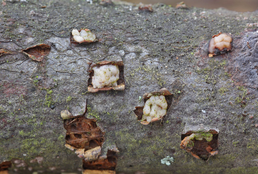puch��ovka ter�ovit� - Platygloea disciformis - foto: Jan Kramoli�, Pardubicko