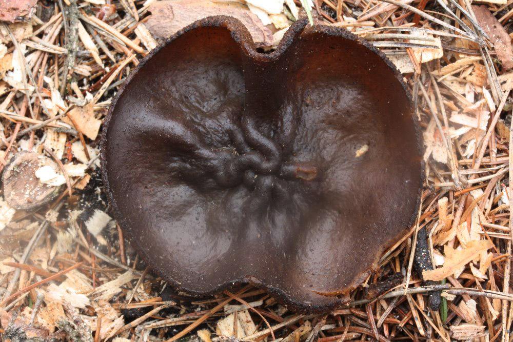 řasnatka hladkoplodá - Plicaria endocarpoides - foto: Oldřich Jindřich, Rokycansko
