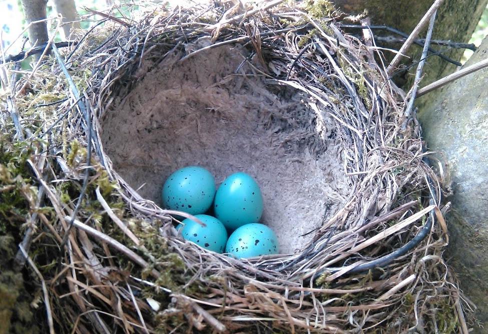 hnízdo svejci drozda zpěvného – Turdus philomelos