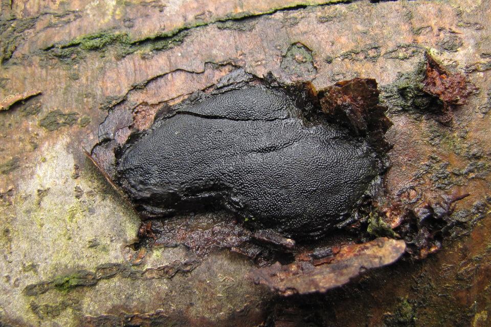 bolinka mnohovýtrusá - Camarops polysperma - foto: Jan Wipler
