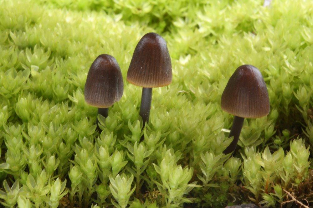 helmovka žlutolouhová - Mycena luteoalcalina - foto: Oldřich Jindřich