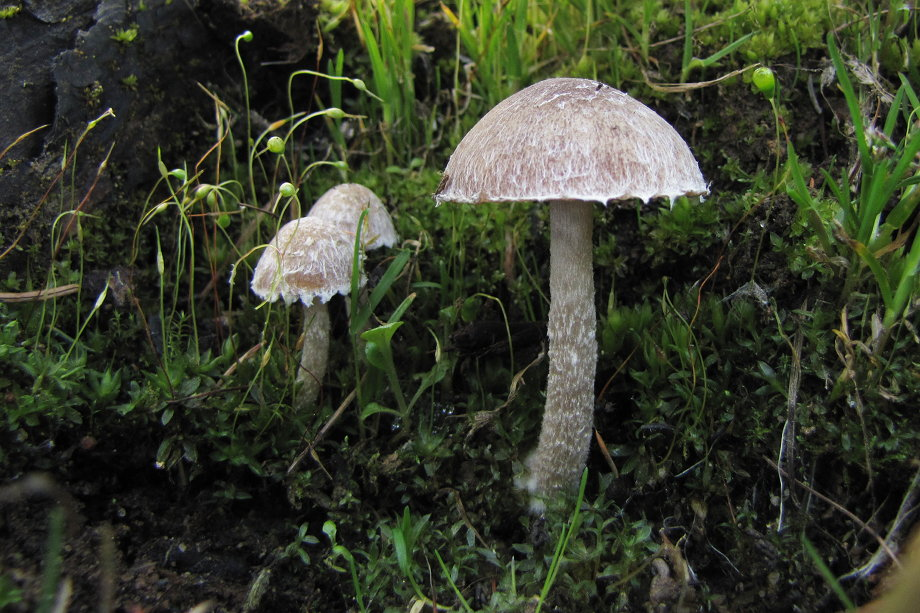 křehutka opýřená - Psathyrella pennata - foto: Jan Wipler