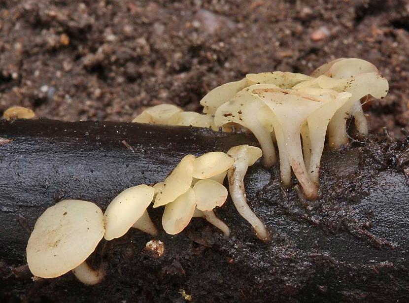 voskovička jarní - Hymenoscyphus vernus - foto: Oldřich Jindřich, Broumovsko