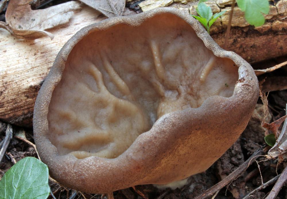 ter�ovnice s�nat� � Disciotis venosa, �erven� seznam ohro�en�ch druh�, kategorie EN - foto: Ilona Stehl�kov�, Berounsko