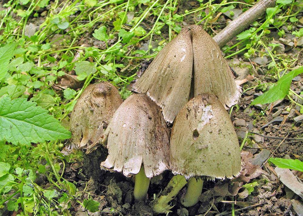 hnojn�k inkoustov� - Coprinopsis cf. Atramentarius, jedl� (sv�hradou) - foto: Pavel Svoboda