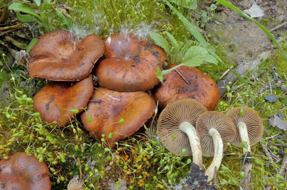 šupinovka spáleništní – Pholiota highlandensis, Senohraby - foto: Petr Souček