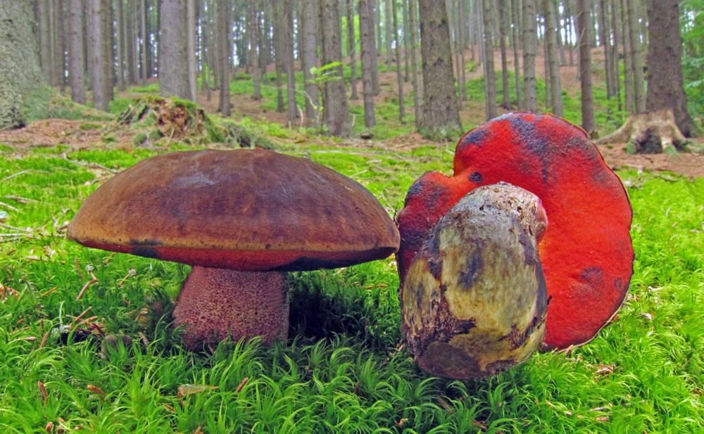 h�ib kov�� � Boletus luridiformis, jedl�, tr�n� druh, Lhotka - foto: Petr Hampl
