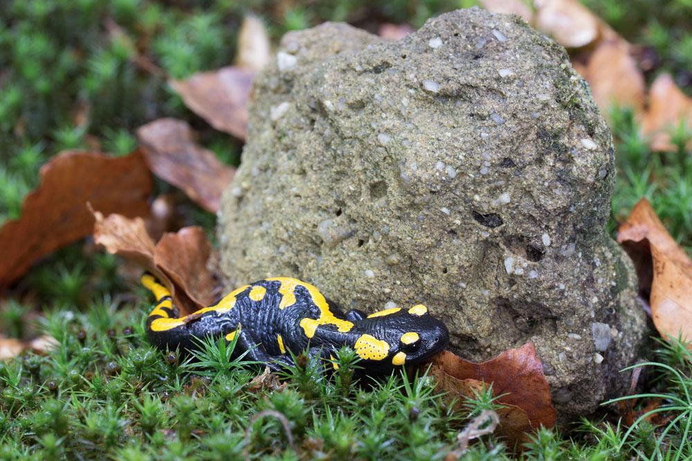mlok skvrnitý - Salamandra salamandra