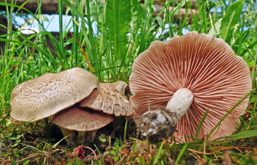 závojenka podtrnka – Entoloma clypeatum, jedlá, Ralsko - foto: Jiří Vondrouš