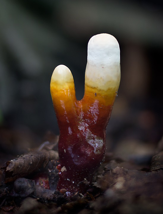 lesklokorka lesklá – Ganoderma lucidum, Poděbradsko - foto: Daniel Kvasnička