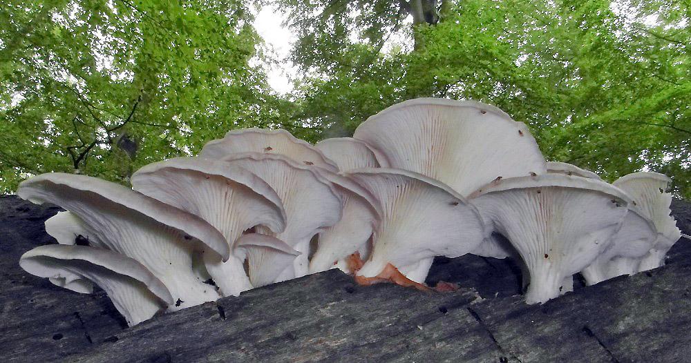 hlíva plicní - Pleurotus pulmonarius, jedlá, tržní druh, Chebsko - foto: Jiří Pošmura