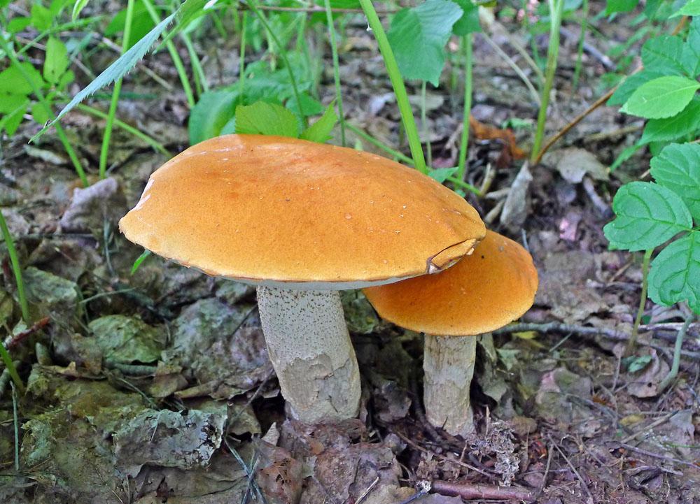 k�emen�� osikov� � Leccinum rufum, jedl�, tr�n� druh, B�rov - foto: AV