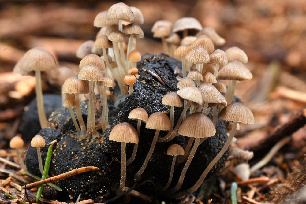 k�ehutka v�kalov� �Psathyrella tenuicula, Trutnovsko - foto: Kate�ina Balzerov�