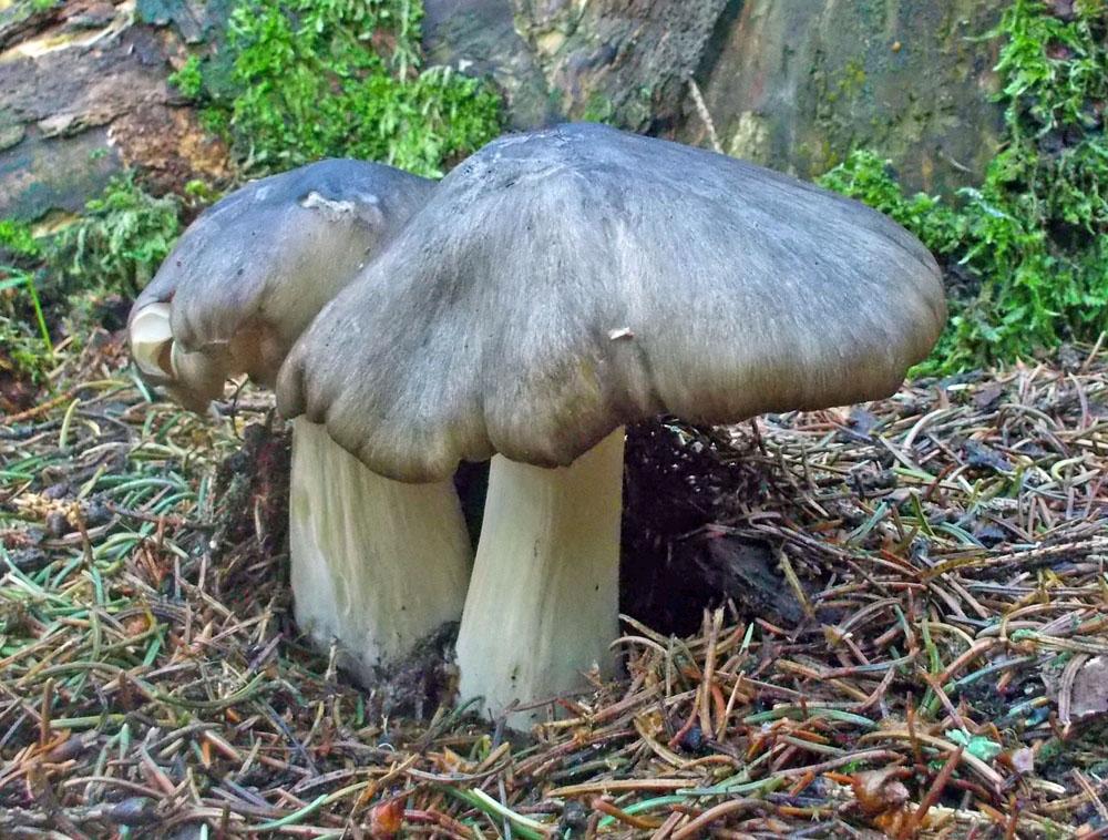 penízovka širokolupenná – Clitocybula platyphylla, Šumava, Javorník - foto: Markéta Vlčková