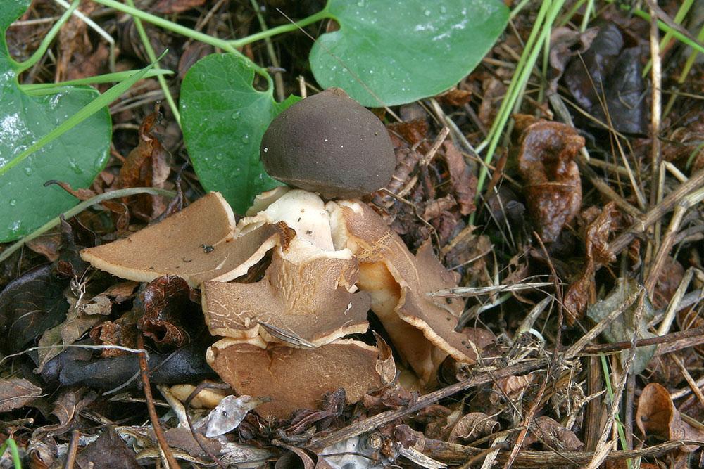hv�zdovka klenbov� � Geastrum fornicatum, �erven� seznam ohro�en�ch druh�, kategorie NT, Hodon�nsko - foto: Ladislav �peta