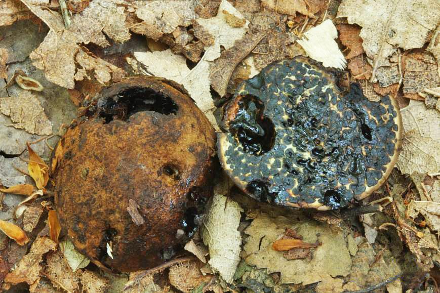 černoušek obojetný – Melanogaster ambiguus, Hořovicko - foto: Oldřich Jindřich