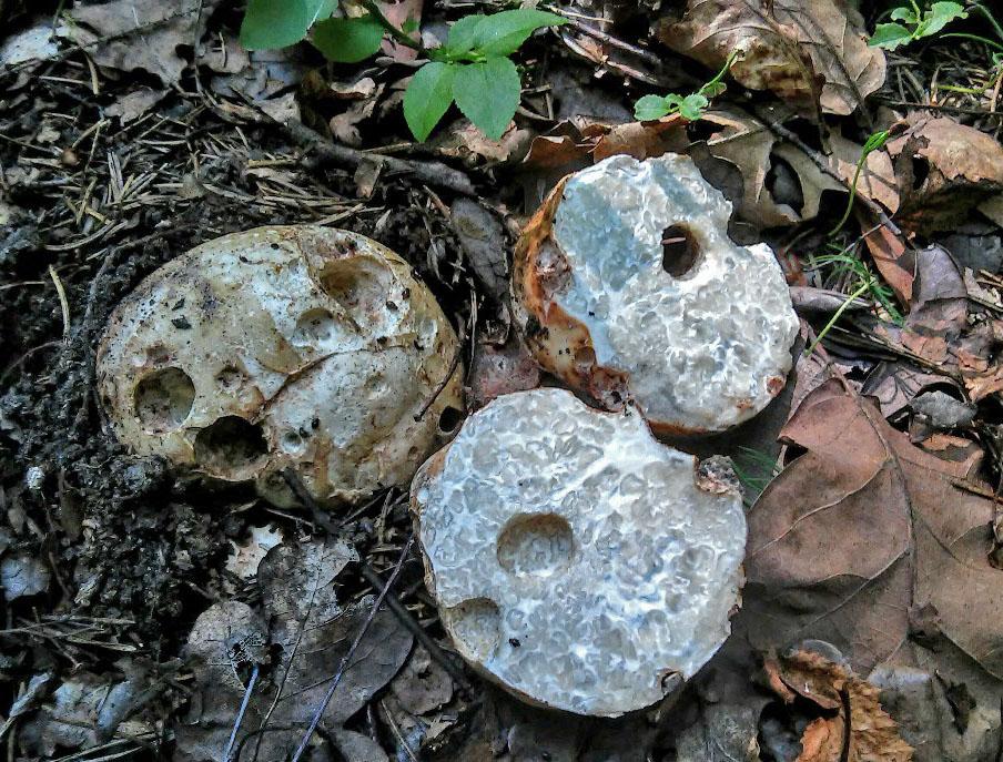 bělolanáž obecný – Choriomyces meandriformis, jedlý, Chebsko - foto: Jiří Pošmura