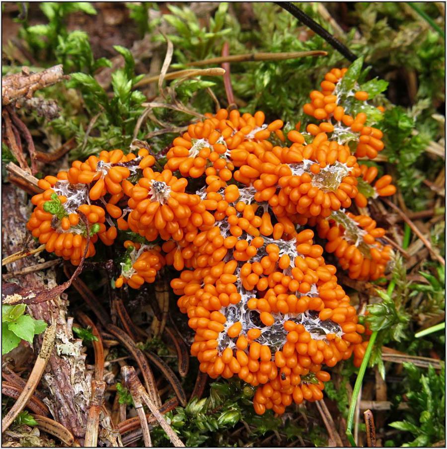 lesklík křehký - Leocarpus fragilis, Malonty - foto: Věra Hyráková