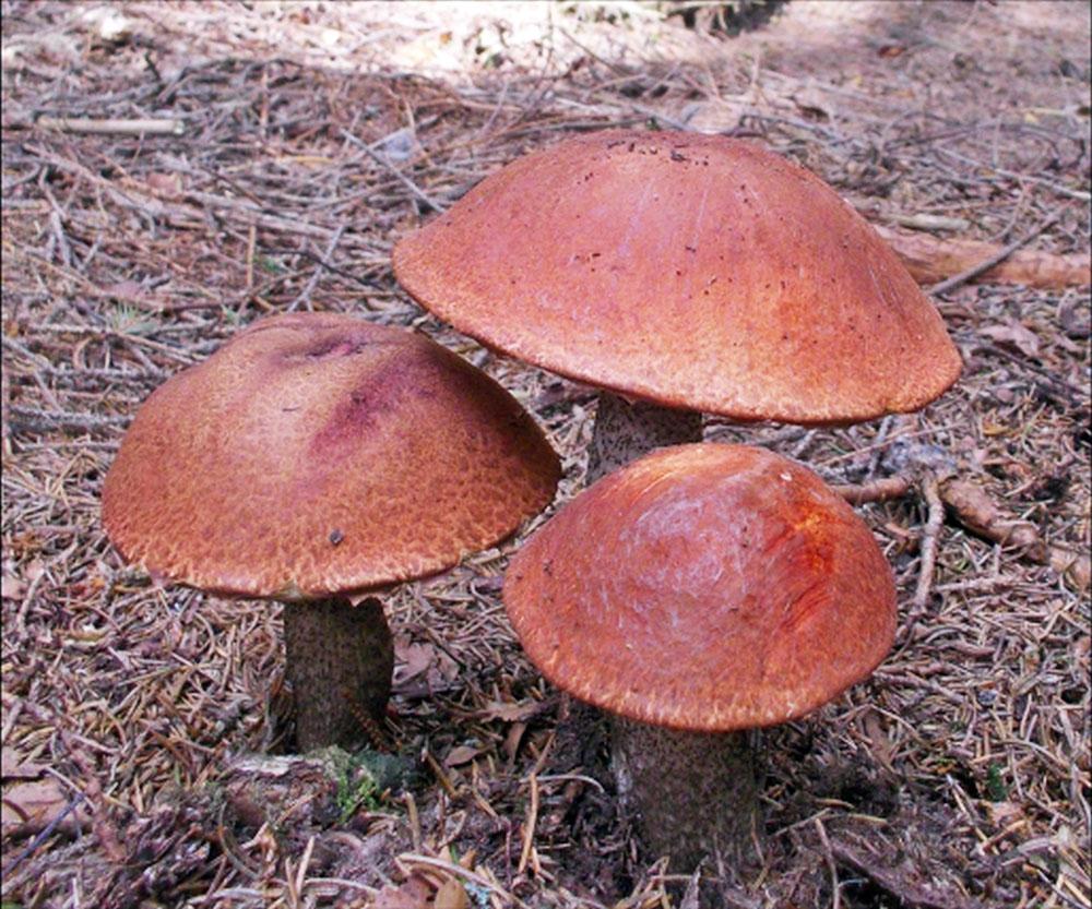 křemenáč smrkový – Leccinum piceinum, Červený seznam ohrožených druhů, kategorie NT, Javorník - foto: Daniel Marek