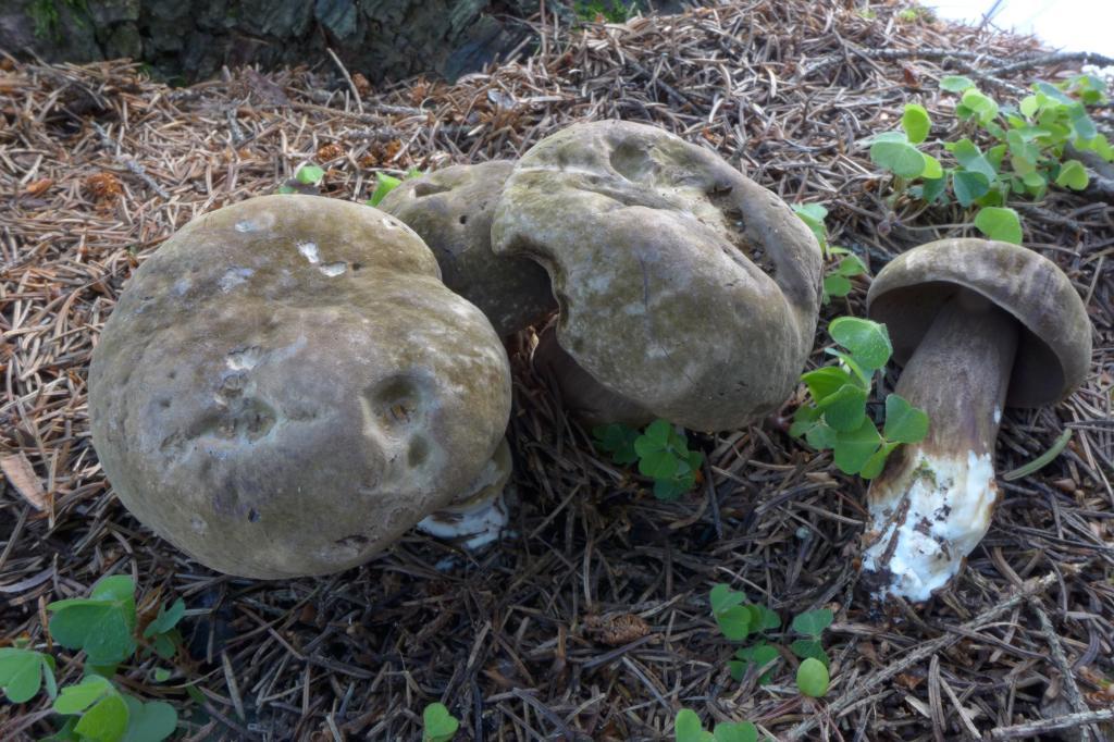 hřib nachovýtrusý – Porphyrellus porphyrosporus, Čechtice - foto: Petr Souček