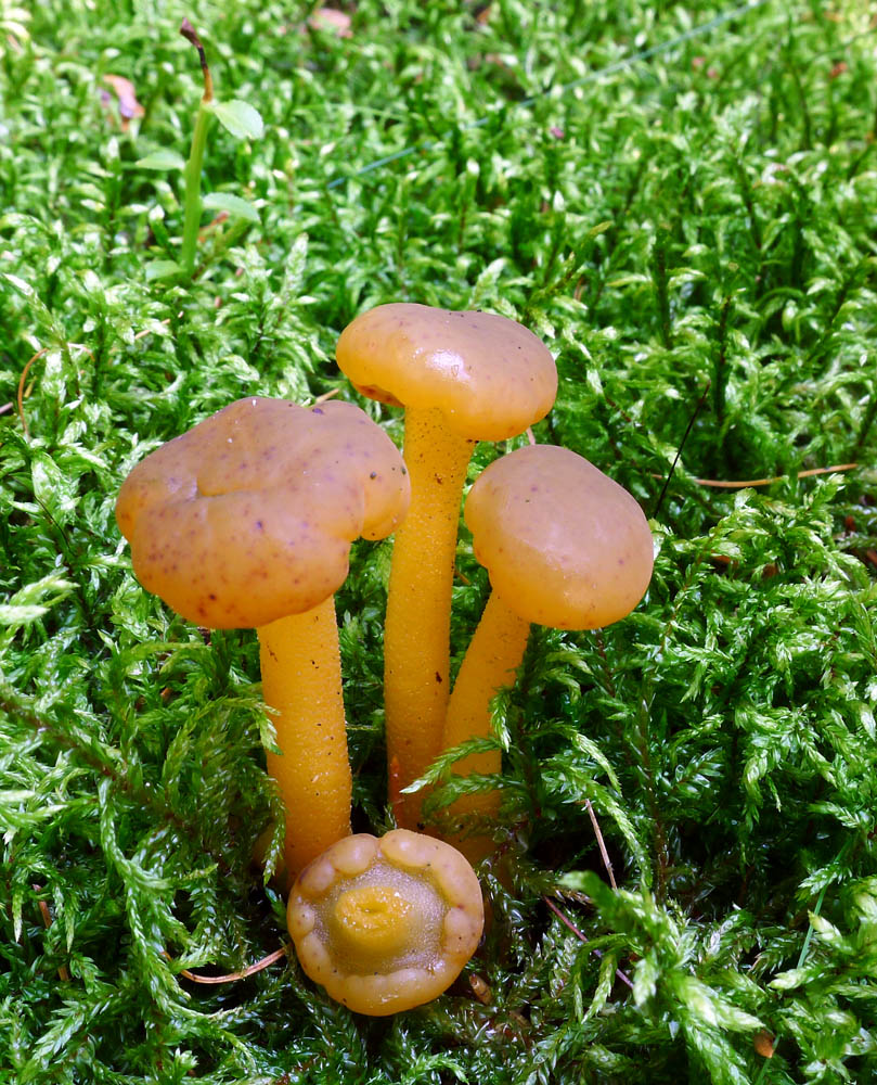 paty�ka rosolovit� - Leotia lubrica, Plchov - foto: AV
