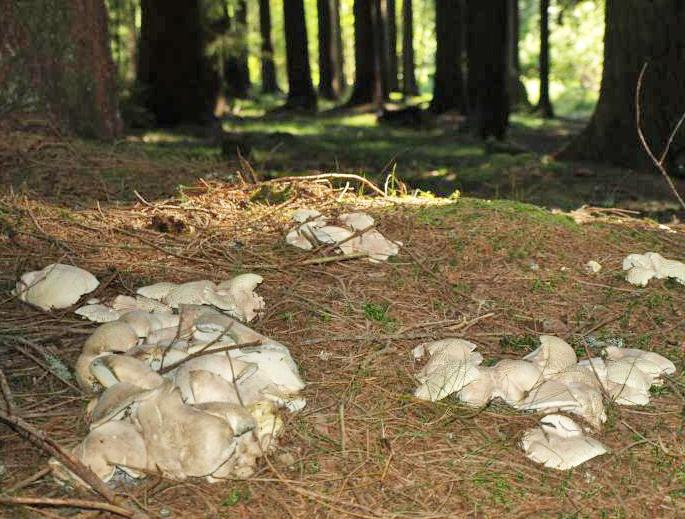kr�snoporka mlyn��ka - Albatrellus ovinus, Javorn�k - foto: Jaroslav Vl�ek