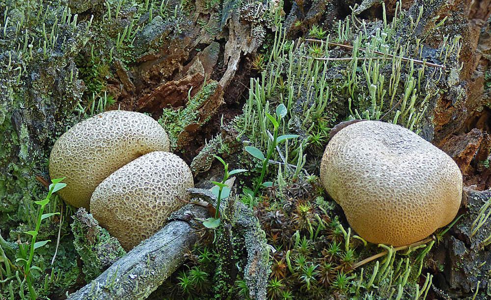 pestřec obecný – Scleroderma citrinum, Ralsko - foto: Jiří Vondrouš