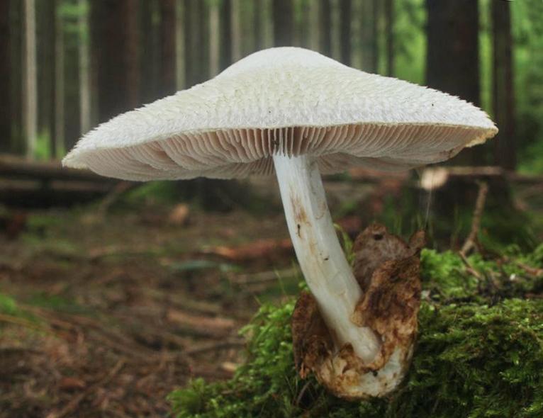 kukmák bělovlnný – Volvariella bombycina, Hořovicko - foto: Oldřich Jindřich