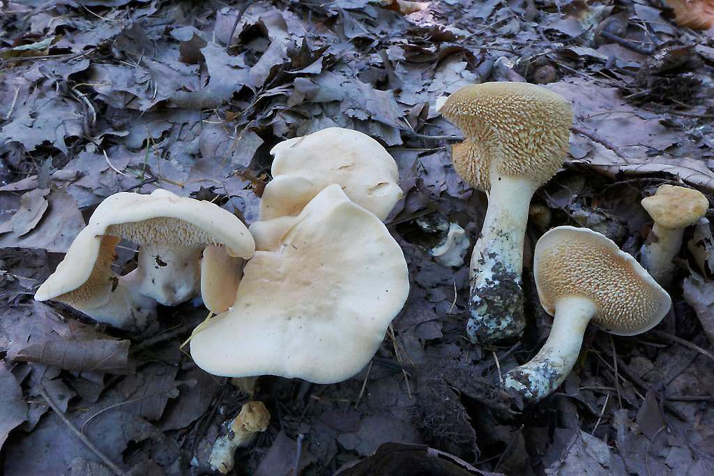 lišák zprohýbaný – Hydnum repandum, jedlý, tržní druh, Písecko - foto: Petr Souček