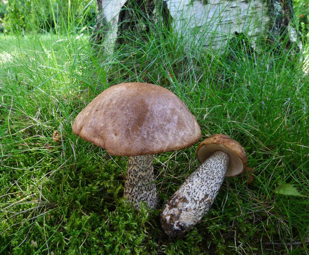 koz�k b�ezov� -Leccinum scabrum, jedl�, tr�n� druh - foto: AV