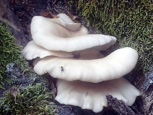 hl�va plicn� - Pleurotus plumonarius, jedl�, tr�n� druh