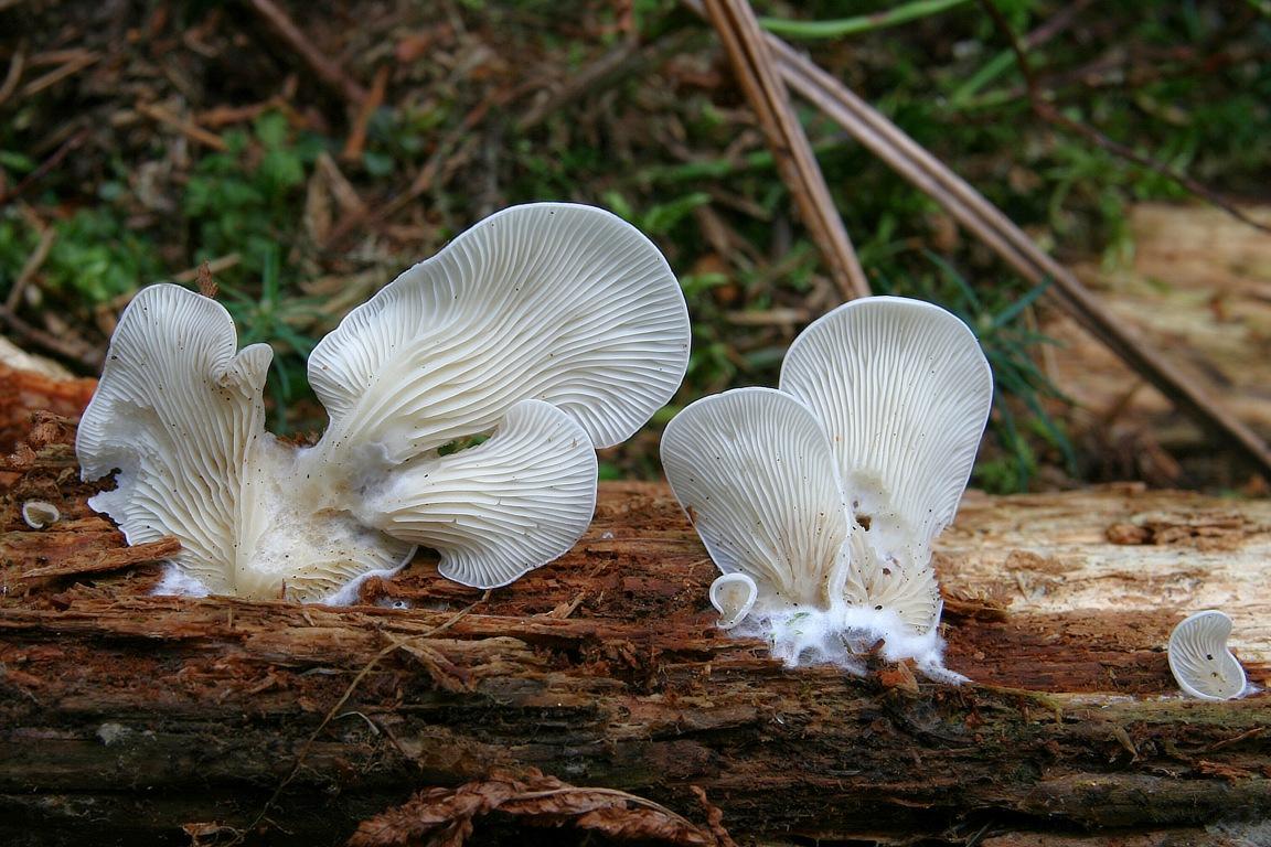 hlíva ušatá - Pleurocybella porrigens, Orava - foto: Ladislav Špeta