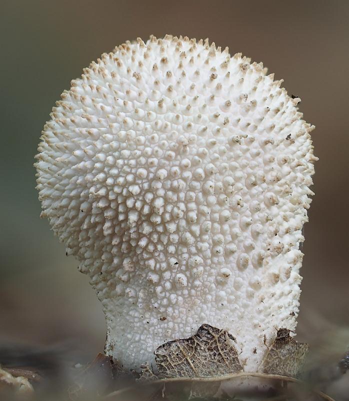 pýchavka obecná - Lycoperdon perlatum, jedlá, Kladensko - foto: Martin Petrák