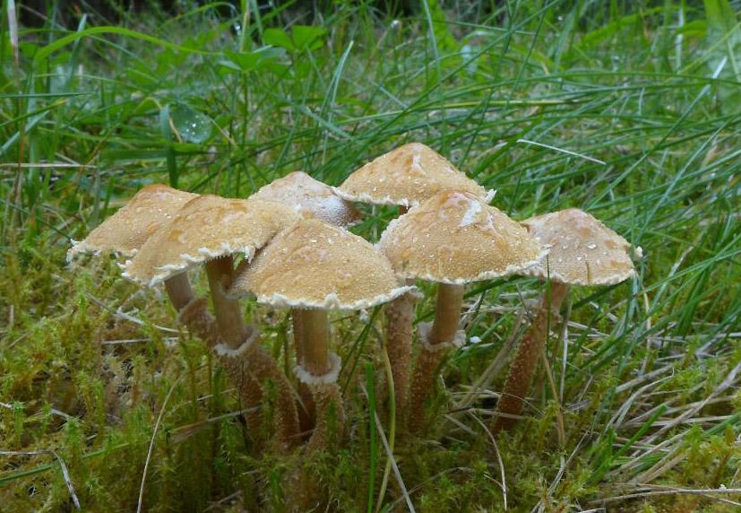 zrnivka osinková - Cystoderma amianthinum, Šumava - foto: Petr Souček