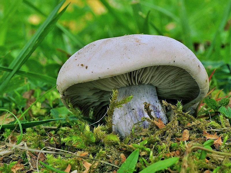�ir�vka dvoubarv� � Lepista saeva, jedl�, tr�n� druh, Mari�nskol�ze�sko - foto: Miroslav Tau�