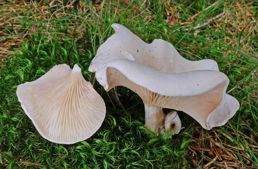 mechovka obecná – Clitopilus prunulus, jedlá, Plchov - foto: AV