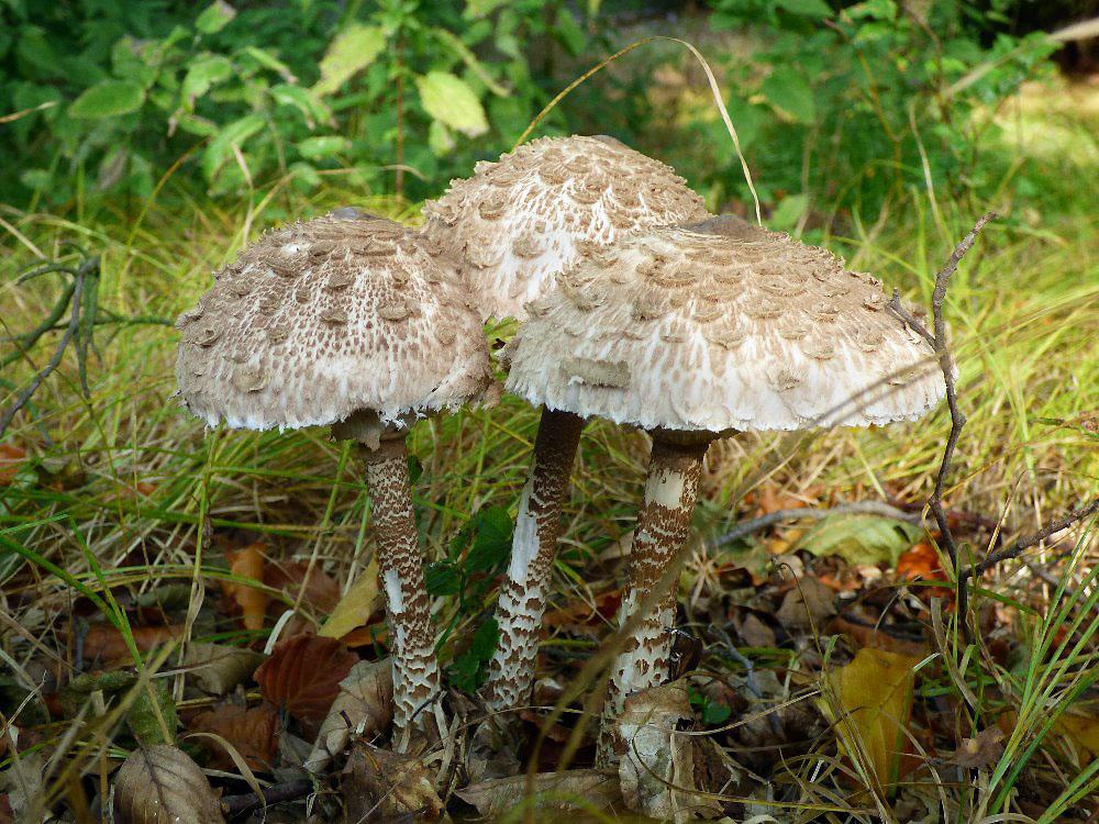 bedla vysok� � Macrolepiota procera, jedl�, tr�n� druh, Rakovnicko - foto: Martin Valent