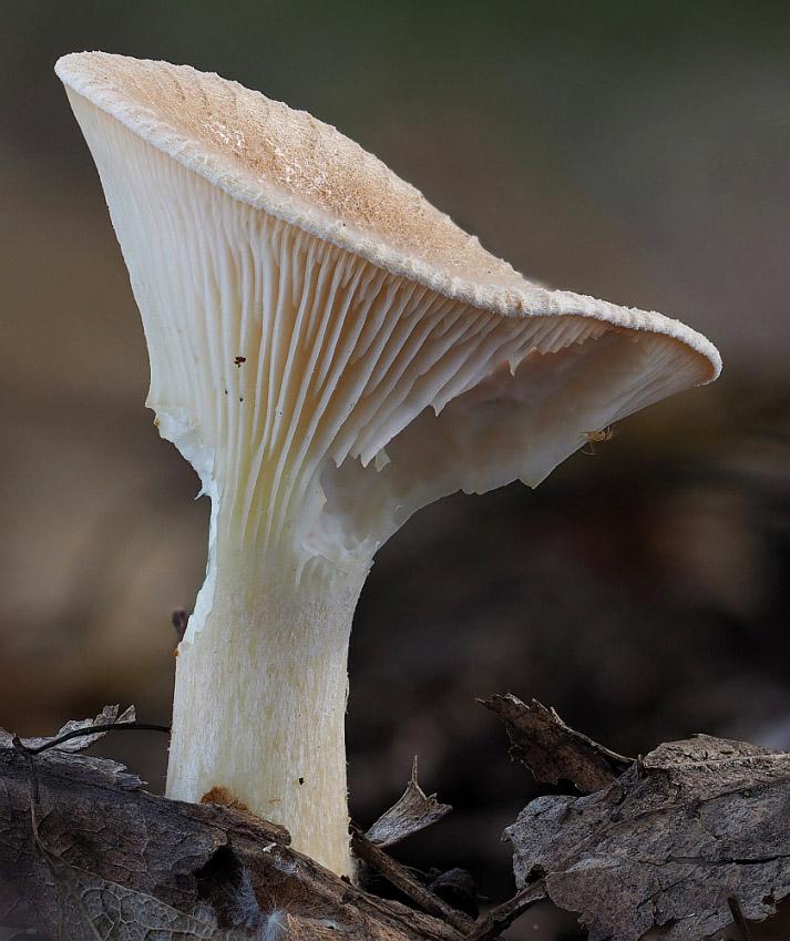 strmělka kyjonohá - Ampulloclitocybe clavipes, Kladensko - foto: Martin Petrák
