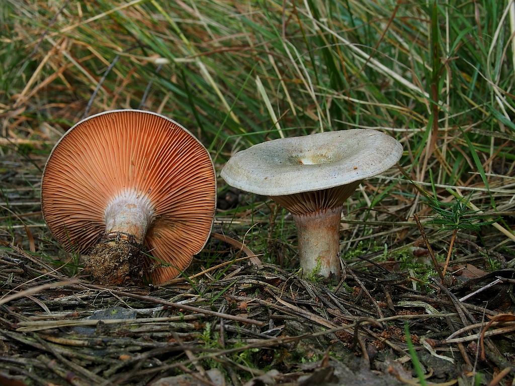 ryzec osmahlý - Lactarius quieticolor, jedlý, Chebsko - foto: Miroslav Tauš