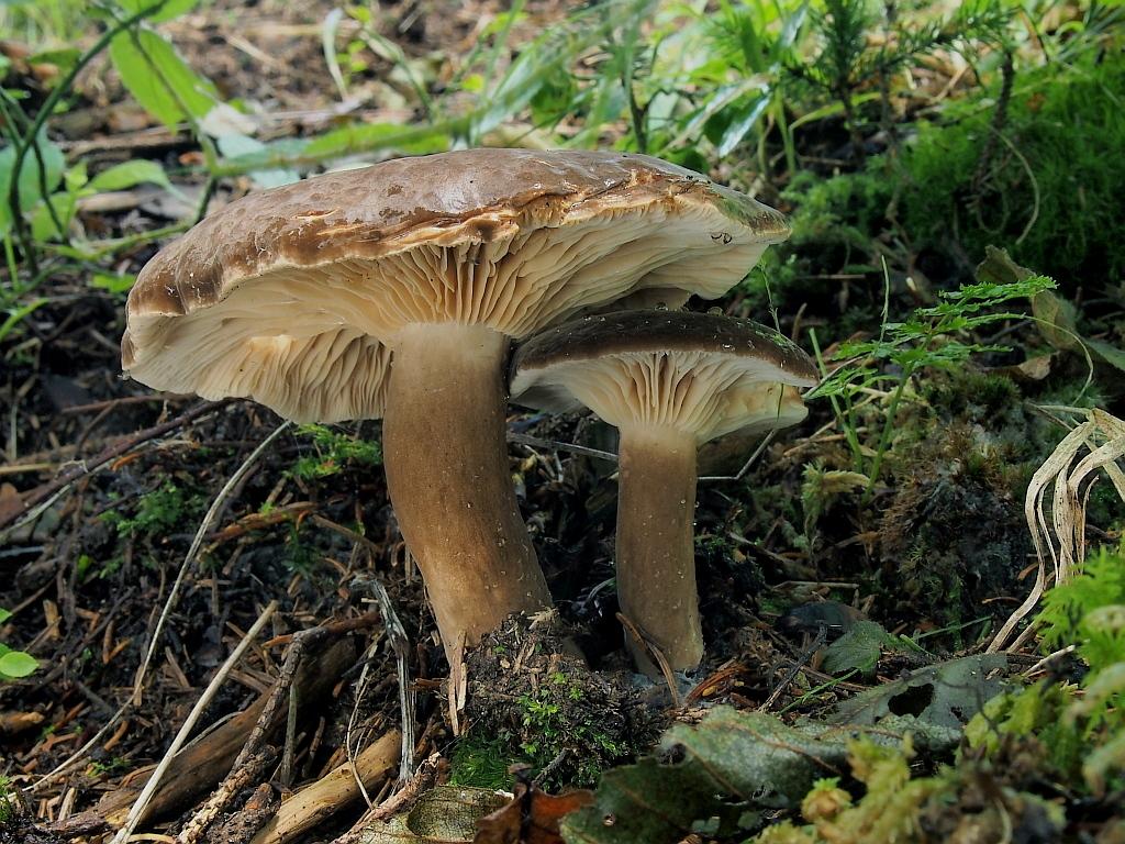 ryzec datl� � Lactarius picinus, Chebsko - foto: Miroslav Tau�
