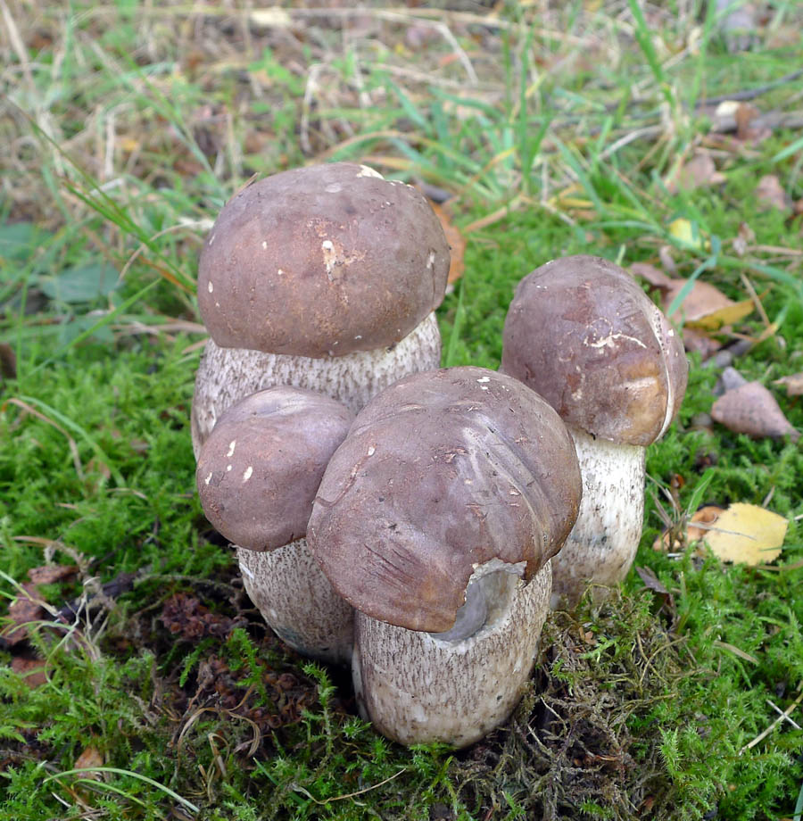 koz�k topolov� - Leccinum duriusculum, jedl�, Bohdalovice - foto: Jana Nedv�dov�
