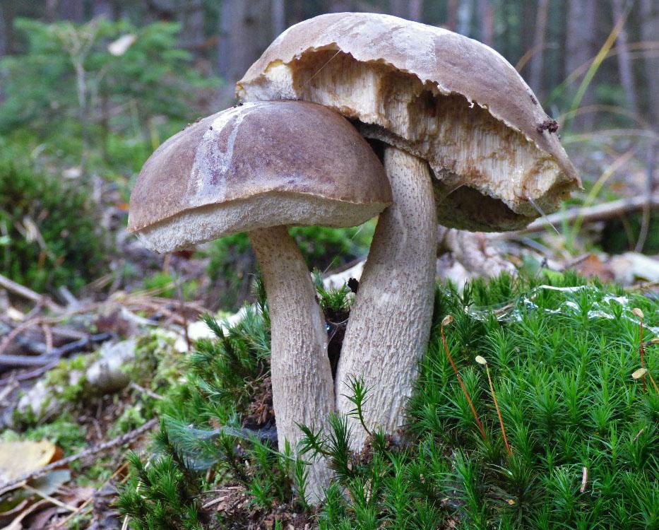 koz�k �edohn�d� � Leccinum brunneogriseolum, jedl�, Rakovnicko - foto: Martin Valent