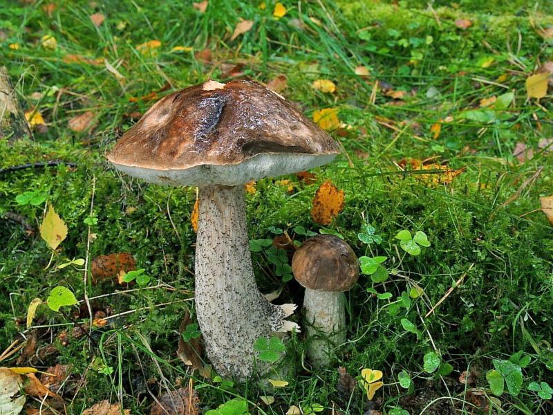 kozák březový – Leccinum scabrum, jedlý, tržní druh Chebsko - foto: Miroslav Tauš