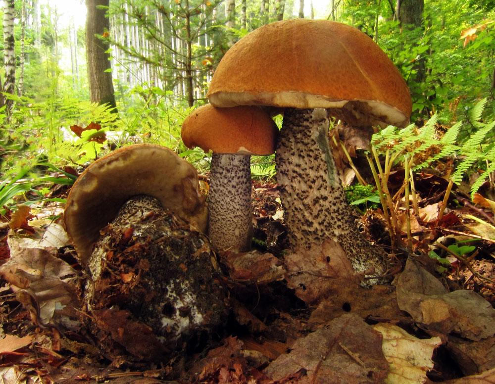 křemenáč březový – Leccinum versipelle, jedlý, tržní druh, Bradla - foto: Petr Hampl
