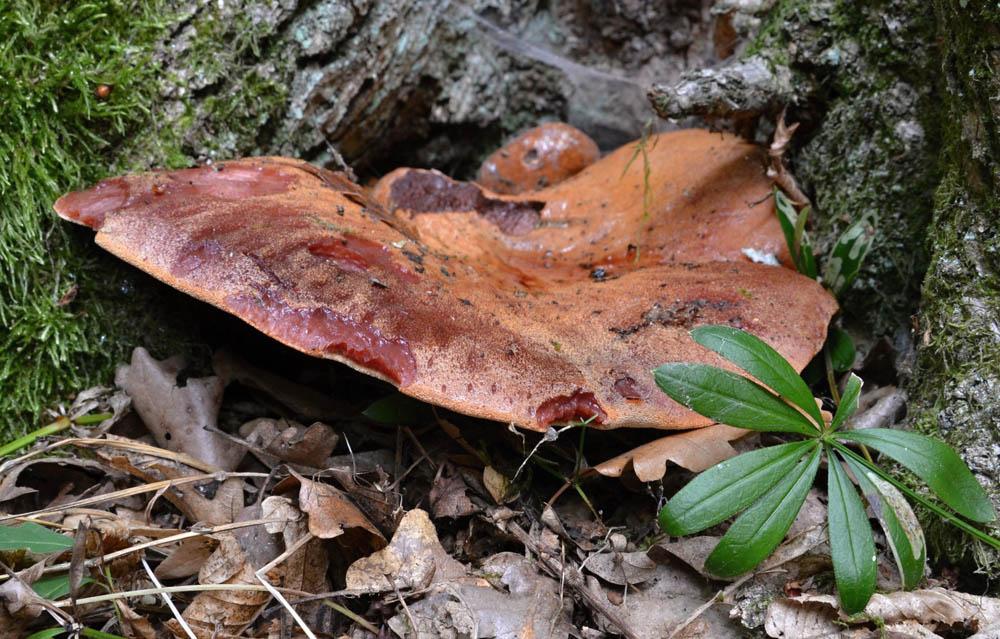 pstřeň dubový – Fistulina hepatica, jedlý, Velká Homola, SR - foto: Pavel Tesner