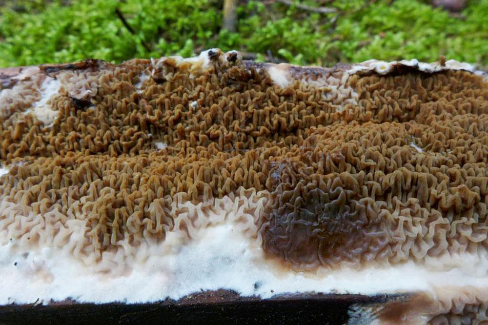dřevomorka lesní - Serpula himantioides, Čechtice - foto: Petr Souček