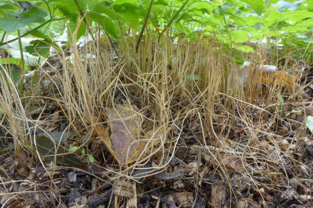 paluška štíhlá – Typhula phacorrhiza, Praha, Uhříněves - foto: Petr Souček
