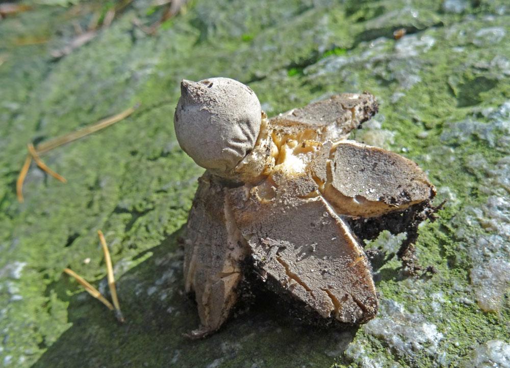 hvězdovka dlouhokrká – Geastrum pectinatum, Hostomicko - foto: Zdena Kokštajnová