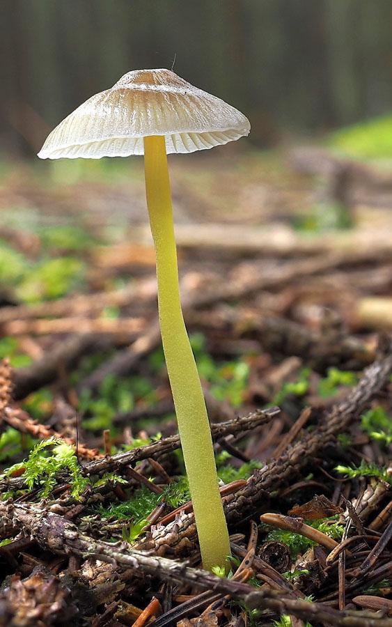 helmovka slizká – Mycena epipterygia, Kladensko - foto: Martin Petrák
